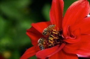 Bienen naschen in einer roten Bluete