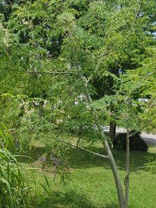 Moringa Oleifera Baum
