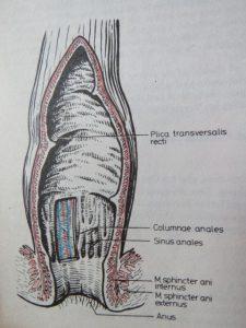Der Mastdarm. Die Hämorrhoiden sitzen innerhalb der Columnae anales.