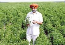 Landwirt mitten im Feld der Stevia